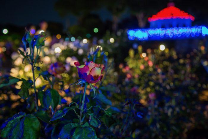 敷島公園ばら園ライトアップ 5/20撮影