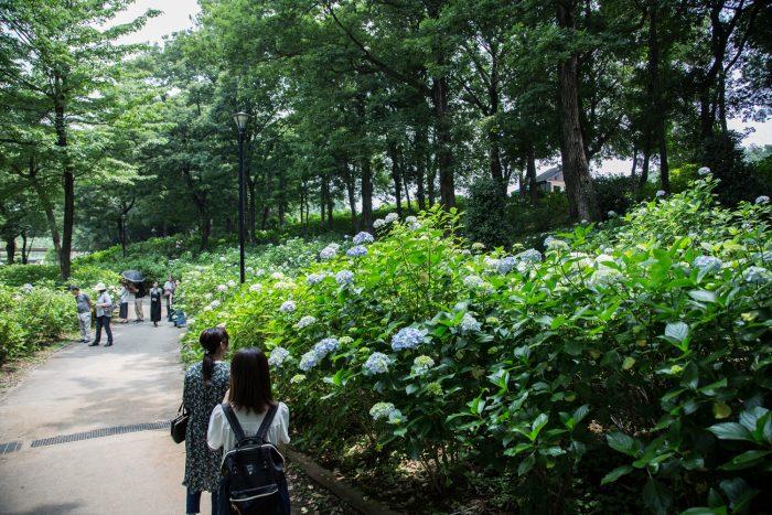 荻窪公園のアジサイ 6/24撮影