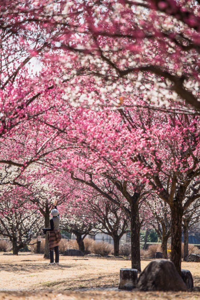大室公園の梅の花