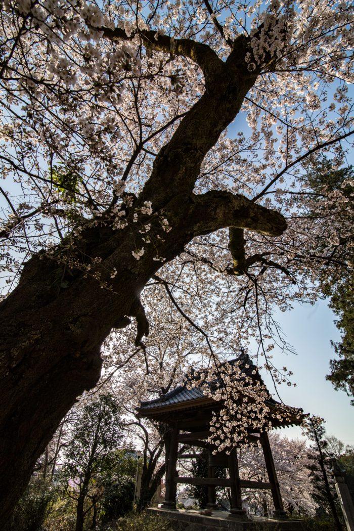 金剛寺のソメイヨシノ
