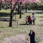 赤城南面千本桜 4/8撮影