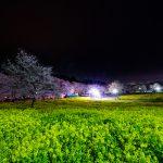 赤城南面千本桜 4/5撮影