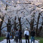 赤城南面千本桜 4/4撮影