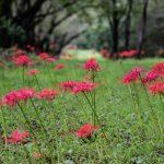 赤城南面千本桜のヒガンバナ