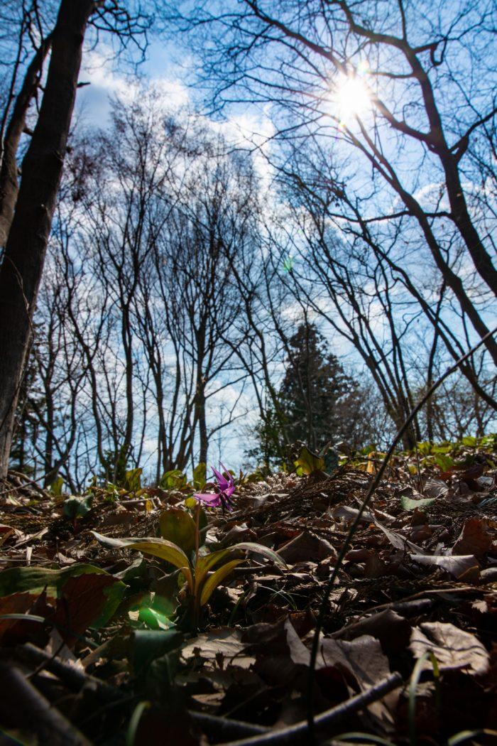 嶺公園のカタクリの花 2019年3月16日撮影